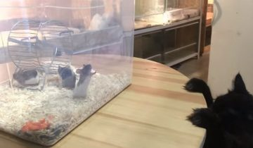 Коты впервые знакомятся тесно с мышами: интересная реакция