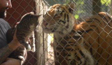 Встреча котенка с тиграми: между ними явно пролетела искра