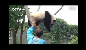 Панда готова слезть с дерева в обмен на обнимашки: 3,5 млн просмотров