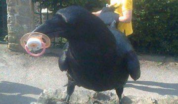 Какая птица самая наглая в мире? Конечно, ворона!