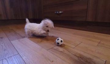 Щенок резвится: первая встреча с миниатюрным футбольным мячом