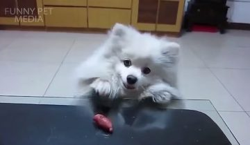 Кто на что горазд: собаки выпрашивают еду