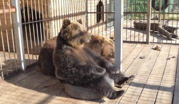 Медведица заигрывает с суровым Потапычем