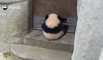 Детеныш панды нашел себе развлечение
