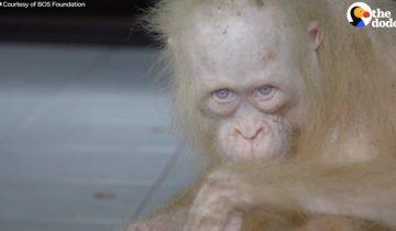 Этот белый орангутан пострадал из-за того, что не такой как все