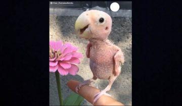 Эта птичка из-за болезни лишилась всех перьев