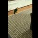 Пернатый Майкл Джексон: попугай танцует перед телевизором