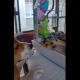 Нежная дружба между крошкой-хомяком и собакой