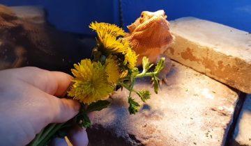 Ящерице подарили букетик цветов на завтрак