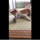 Собака знакомится с ежиком