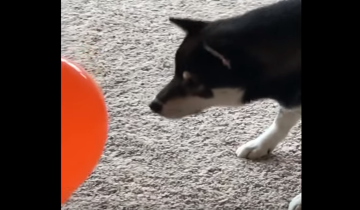 Смешная реакция собаки на надутый шарик