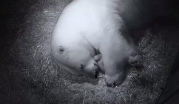 Новоиспеченная мама-медведица укладывает малышей спать
