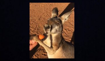 Кенгуру балдеет от морковки