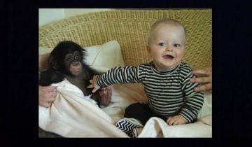 Маленькую шимпанзе спасли от собственной матери и познакомили с малышом