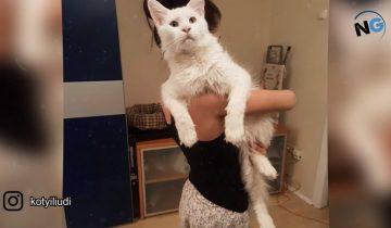 Встречайте Тихона — самого нежного кота-гиганта