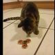 Котик совершенно очарован новой игрушкой