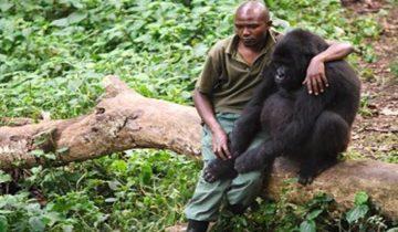 Бесстрашный мужчина утешает гориллу, потерявшую мать