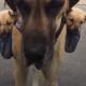 Все свое ношу с собой: пес не расстается со щенками