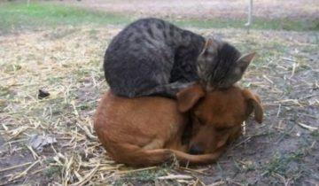 Коты используют собак вместо кроватей: 25 фотографий