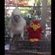 Смешной попугай общается с игрушкой