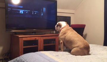 Бульдог любит фильмы ужасов, но не может терпеть, когда кому-то грозит беда
