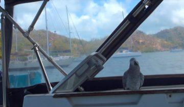 Попугай-мореплаватель прошел больше 60 тысяч морских миль