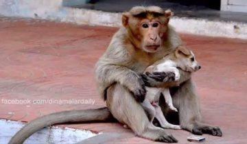 Обезьяна спасла щенка и заменила ему родную мать