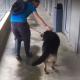Немецкая овчарка пережила столько боли, что ее решено усыпить