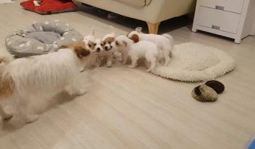 Папа-пес играет со щенками в перетягивание каната