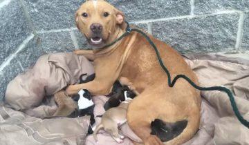 Питбуля с новорожденными щенками бросили у дверей приюта