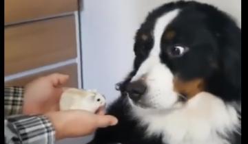 Хозяйка принесла в дом хомяка и показывает его  собаке (9,6 млн просмотров)
