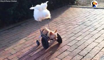 Невероятная дружба двуногой чихуахуа и пушистой курицы