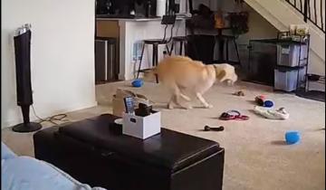 Пока никого нет дома: собак поймали на горячем
