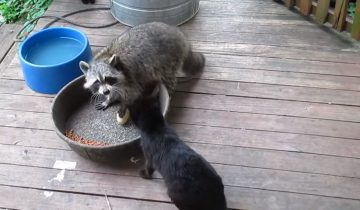 Наглый енот пришел поесть кошачьего корма