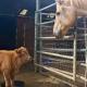 Спасенный теленок подружился с козой