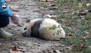 Малыш панды и рад бы встать с утра пораньше