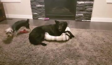 Две собаки пытаются поместиться в одной крохотной кроватке