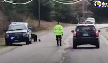Полицейские решили помочь медведице с детенышами перейти дорогу