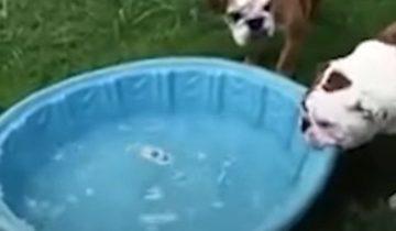 Когда любовь к бассейну сильнее тебя: бульдог хочет затащить его в дом