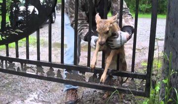 Пес нашел олененка, застрявшего в заборе. Что будет дальше?..