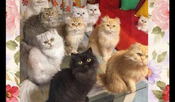 12 персидских кошек в одном доме: их фото взорвали Инстаграм