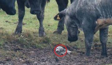 Что нашли эти коровы в грязи… Это невероятно!