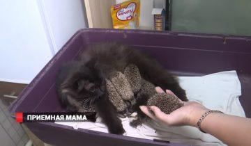Кошка выкармливает ежат-сирот во Владивостоке