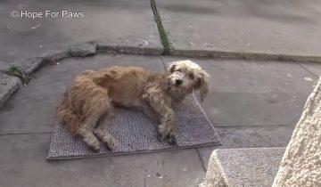 Уличная собака забрела во двор и рухнула на землю
