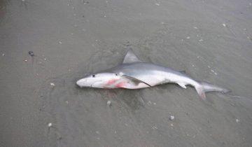 Невероятные случаи спасения акул людьми