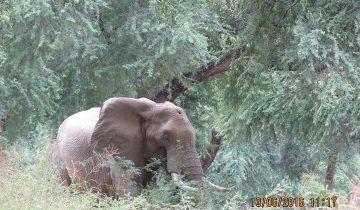Не вынося ужасной боли, слон бился головой об деревья