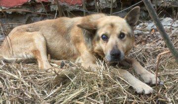 Слепой пес сорвался с цепи и потерялся. Он истощал и истосковался по хозяину