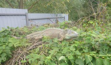 «Динозавр ест мои кабачки!» дачница звала на помощь
