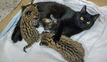Домашние кошки взяли на воспитание диких зверенышей