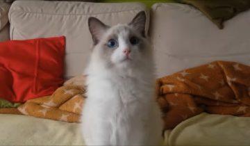 Этот кот обычно не любит смотреть ТВ. Но эта передача его завораживает
